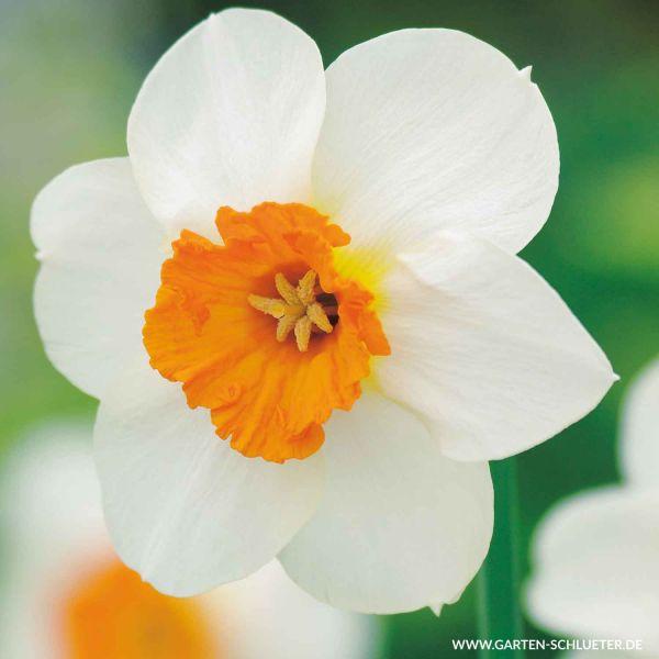 Großblumige Narzissen 'Barrett Browning' - 5 Stück Narcissus 'Barrett Browning' Bild