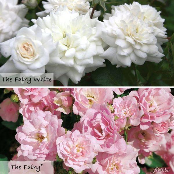 Bodendeckerrosen-Set Rosa Bild