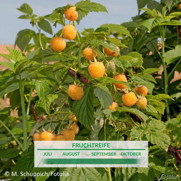 Himbeere 'Twoface' Rubus idaeus 'Poranna Rosa®' Bild
