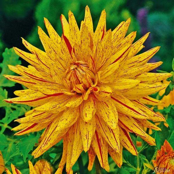 Kaktusdahlie 'Hy Pimento' - 1 Stück Dahlia x hybrida Bild