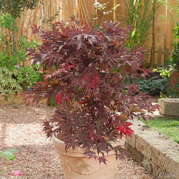 Rotblättriger Fächerahorn 'Bloodgood' Acer palmatum 'Bloodgood' Bild