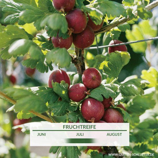 Stachelbeere 'Redeva' - Halbstamm Ribes uva-crispa 'Redeva' Bild