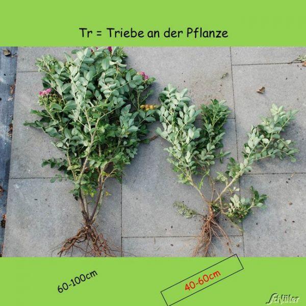 Wurzelnackte Pflanze, 40 - 60 cm, 3 Triebe, 5 Pflanzen, 5 Pflanzen