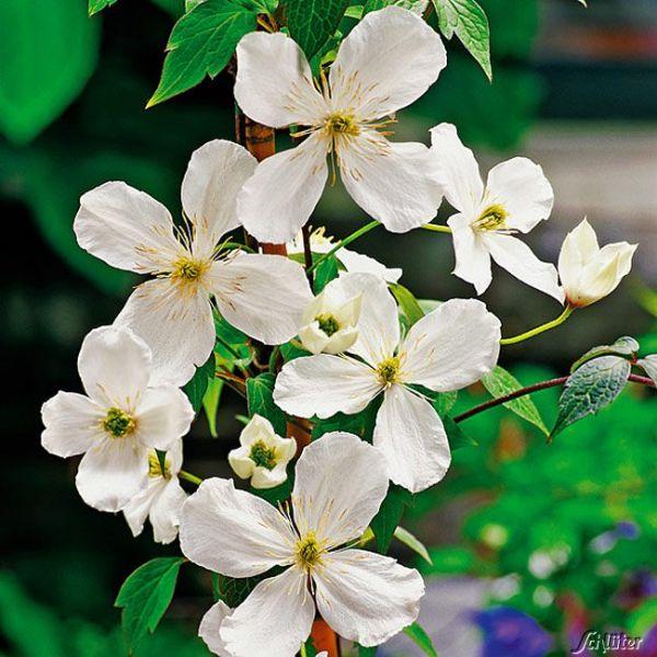 Clematis 'Grandiflora' Clematis montana 'Grandiflora' Bild