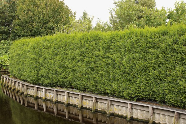 Thuja-Brabant-als-Sichtschutzhecke
