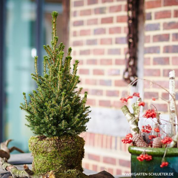 Kleine Fichte 'Little Santa®' Picea abies 'Little Santa®' Bild