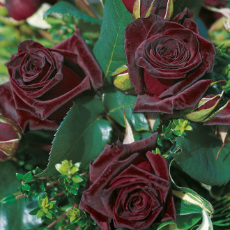 Rose_Black_Baccara