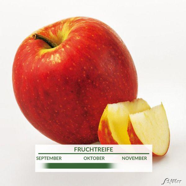 Apfelbusch 'Jonagold' Winterapfel Malus domestica 'Jonagold' Bild
