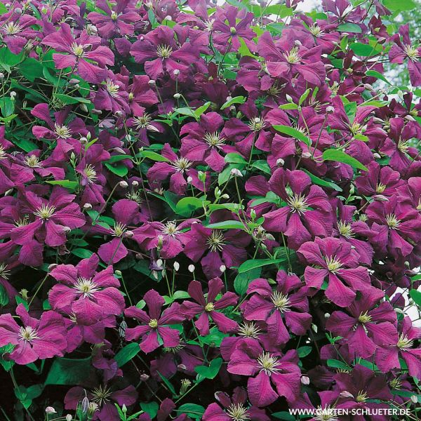 Clematis 'Royal Velours' Clematis viticella 'Royal Velours' Bild