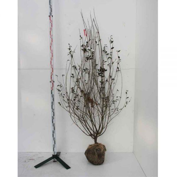 Mit Ballen, 150 - 175 cm, 10 Pflanzen
