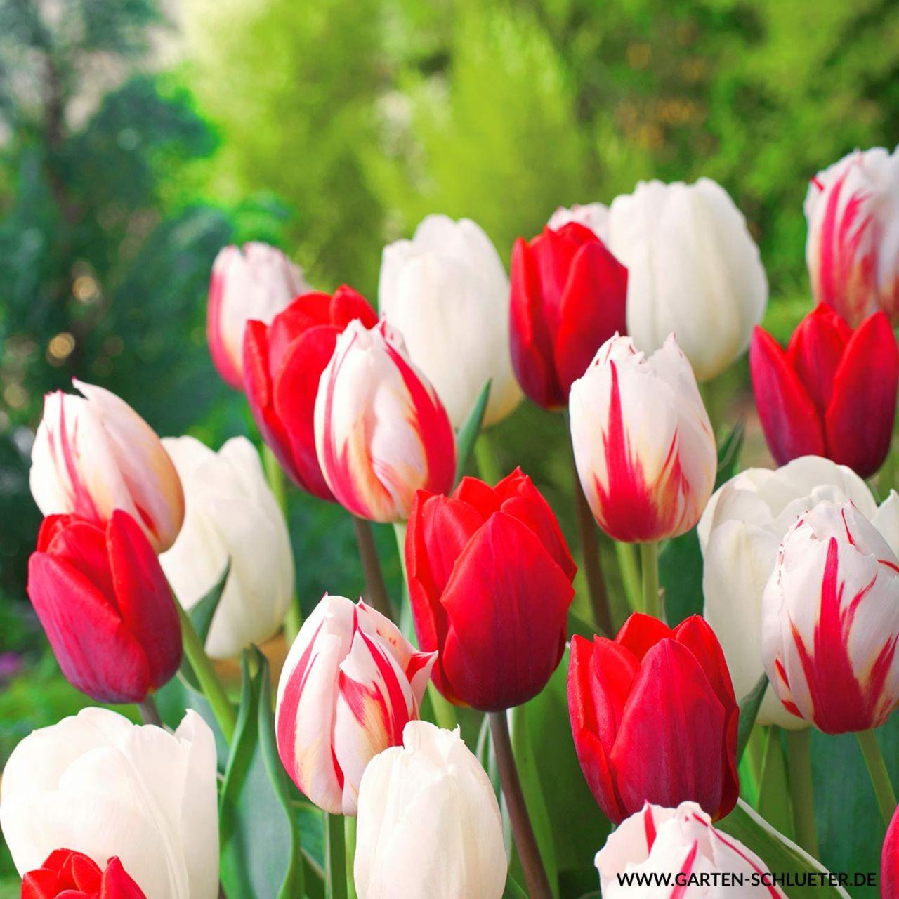 Einfache späte Tulpe 'Sorbet' - 7 Stück