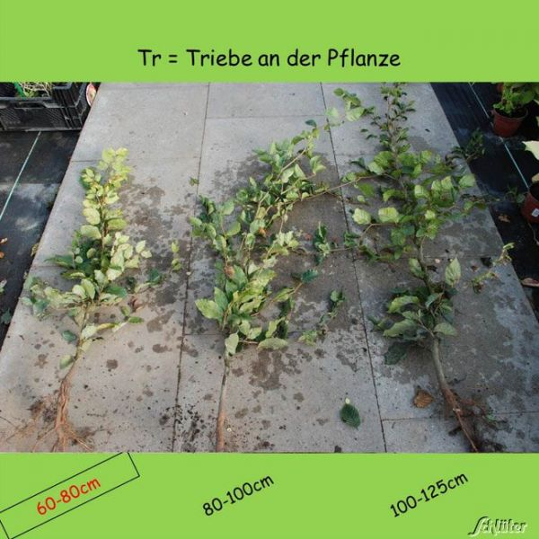 Wurzelnackte Pflanze, 60 - 80 cm, 10 Pflanzen, 10 Stück