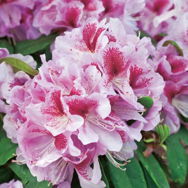 Rhododendron-vermehren