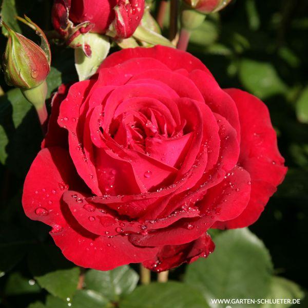 Edelrose 'Störtebeker' Rosa 'Störtebeker' Bild