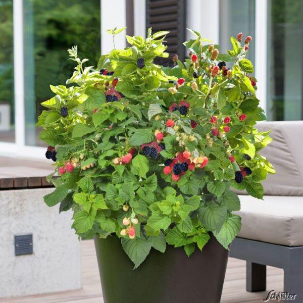 Brombeere BrazelBerries® 'Baby Cakes' Rubus fruticosus BrazelBerries® 'Baby Cakes®' Bild