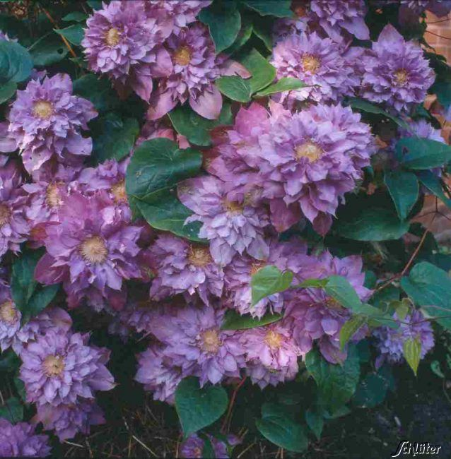 Clematis 'Vivian Pennell'