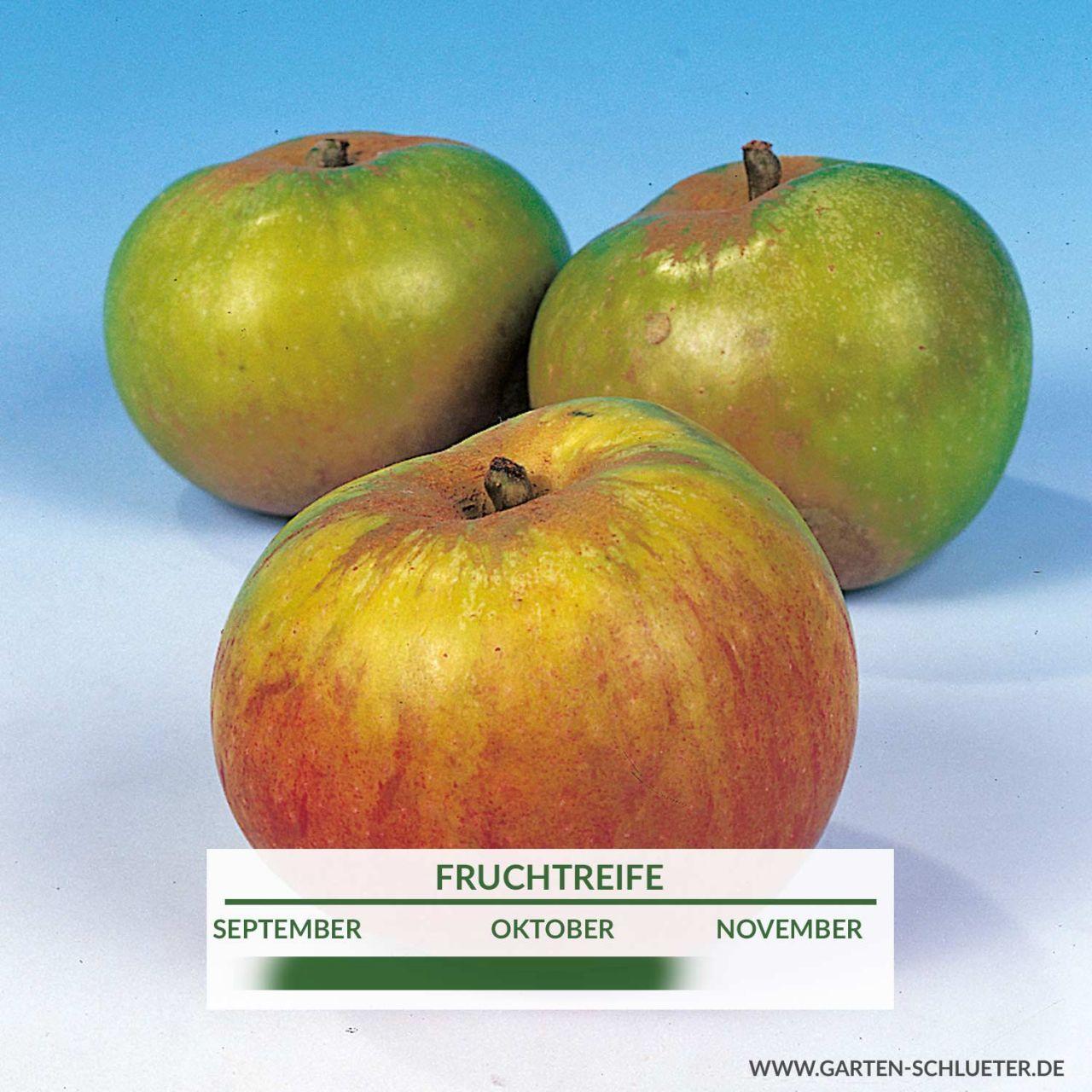 Apfel 'Jakob Lebel'