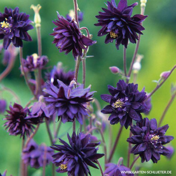 Gefüllte Akelei 'Blue Barlow' Aquilegia vulgaris 'Blue Barlow' Bild
