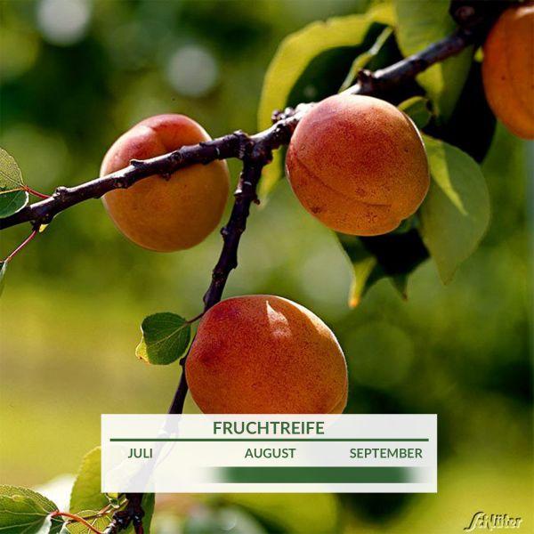 Aprikosenmirabelle 'Aprimira' Prunus 'Aprimira' Bild