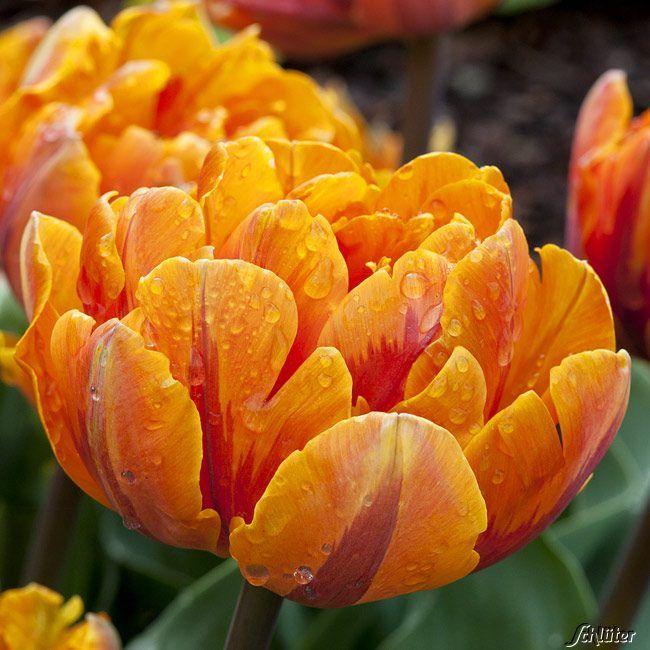 Garten-Schlueter.de: Gefüllte späte Tulpe Orange Princess - 7 Stück