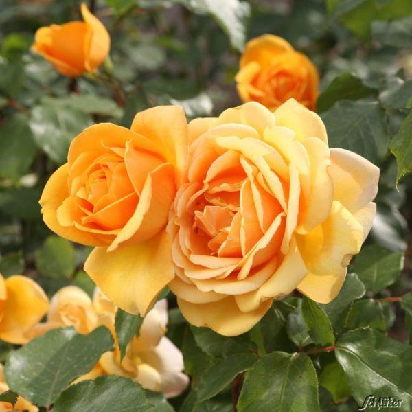 Edelrose 'Kupferkönigin'® Rosa 'Kupferkönigin'® Bild