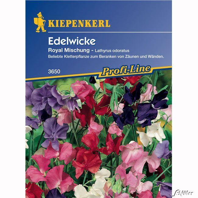 Wicke (Edelwicke) 'Royal'