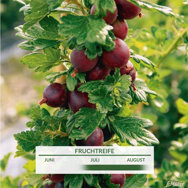 Stachelbeere 'Crispa® Flavia®' Ribes uva-crispa 'Flavia' Bild