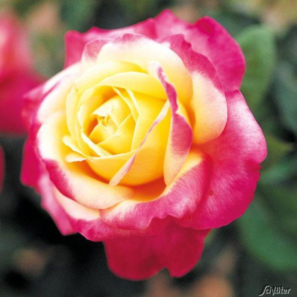Edelrose 'Pullmann Orient Express®' Rosa 'Pullmann Orient Express®' Bild