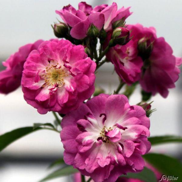 Ramblerrose 'Perennial Blue' - ADR-Rose Rosa 'Perennial Blue' Bild