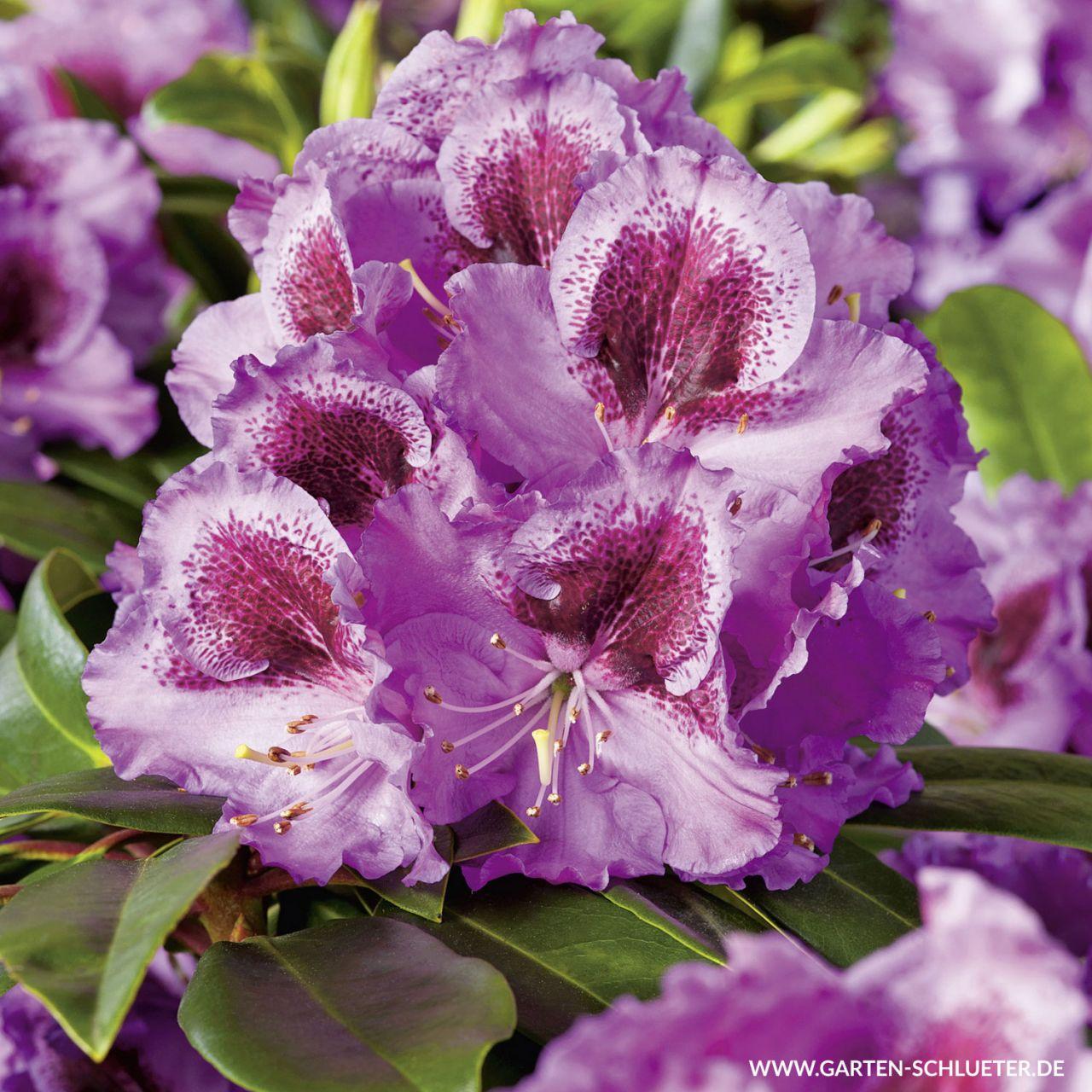 Garten-Schlueter.de: Rhododendron Pfauenauge