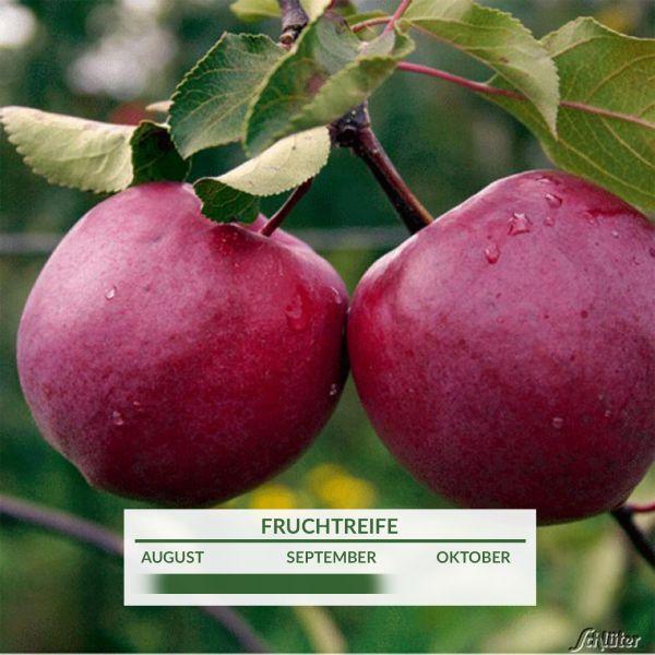Apfel 'Redlove® Circe®' Malus Bild