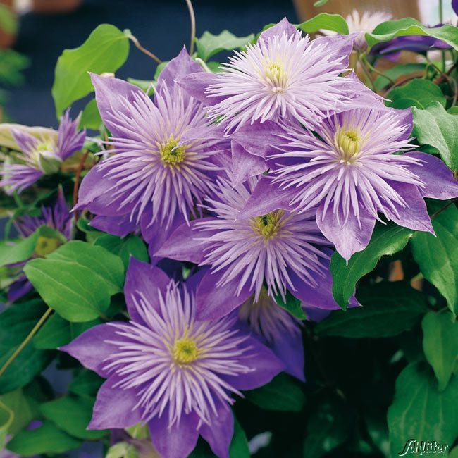 Clematis mit halbgefüllten großen Blüten