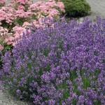 Lavendel_Munstead
