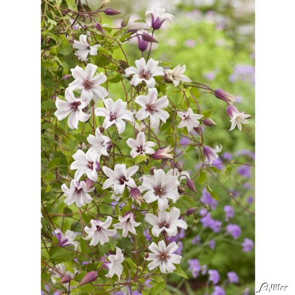 Clematis 'Princess Kate' Clematis texensis 'Princess Kate' Bild