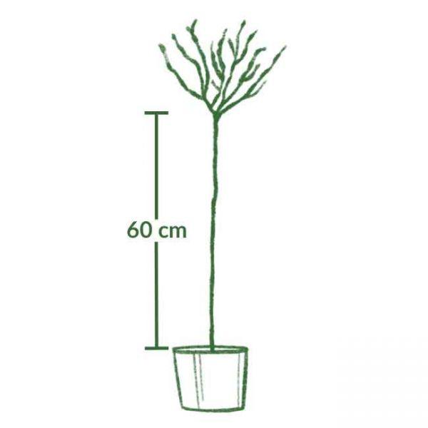 7,5 Liter Container, Stammhöhe 60 cm