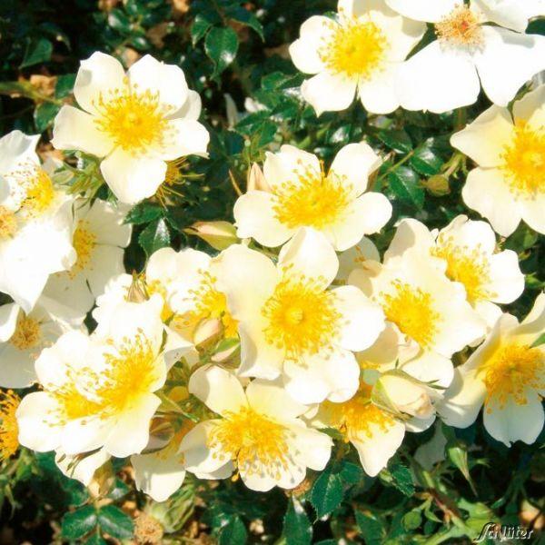 Zwergrose 'Sonnenröschen®' - ADR-Rose Rosa 'Sonnenröschen®' Bild
