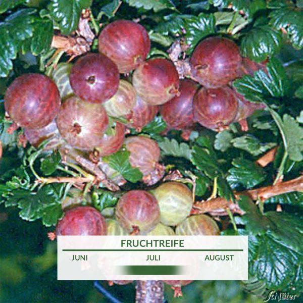 Stachelbeere 'Rexroth' - Halbstamm Ribes uva-crispa 'Rexroth' Bild