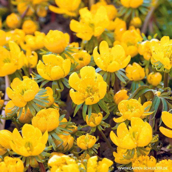 Winterlinge Eranthis cilicica Bild