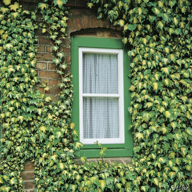 Goldefeu zum Beranken und für vertikale Gärten