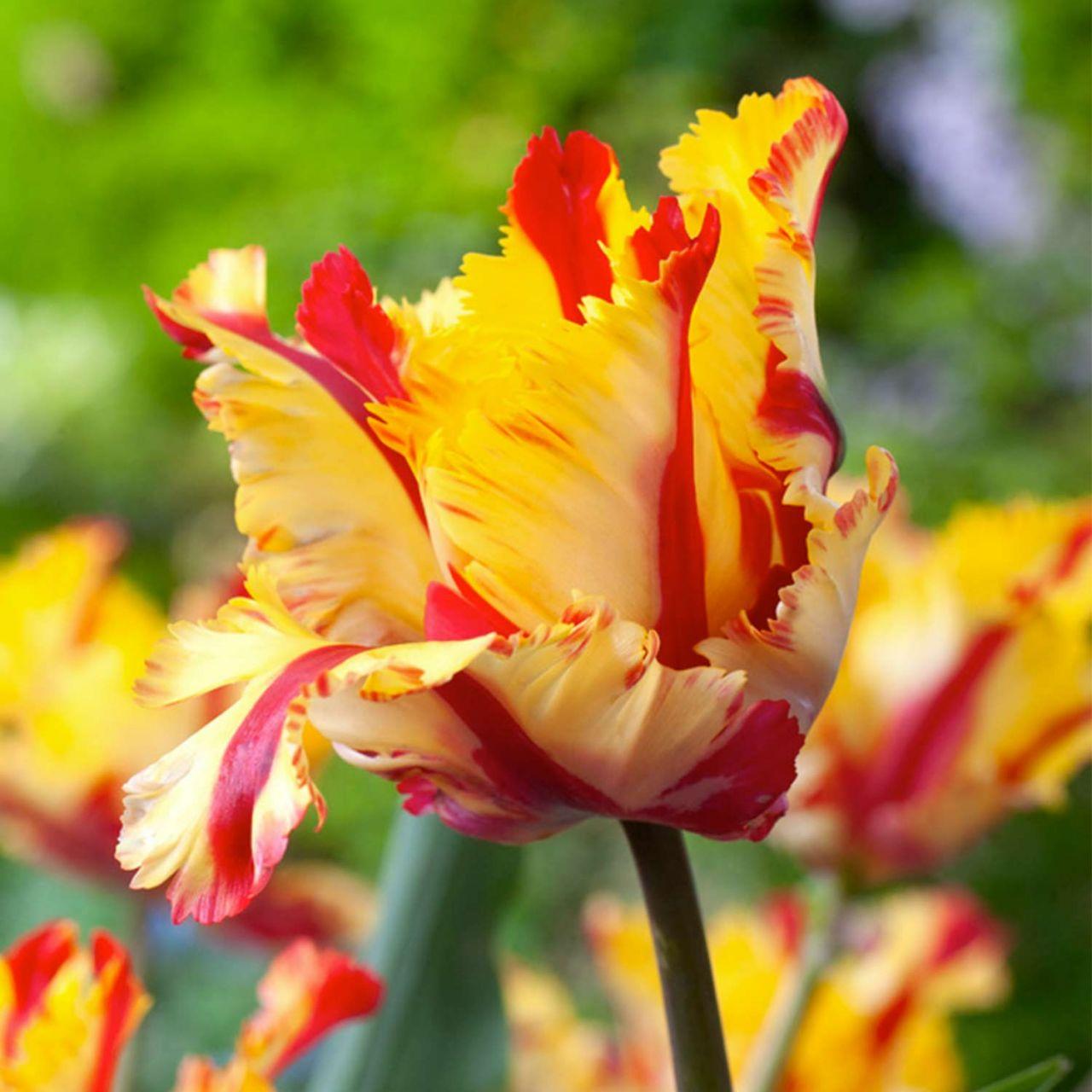 Papageien-Tulpe 'Flaming Parrot' - 7 Stück