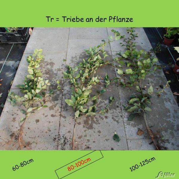 Wurzelnackte Pflanze, 80-100 cm, 5 Pflanzen, 5 Stück
