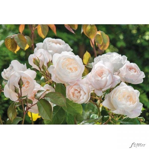 David-Austin-Strauchrose 'Desdemona' Rosa 'Desdemona' Bild