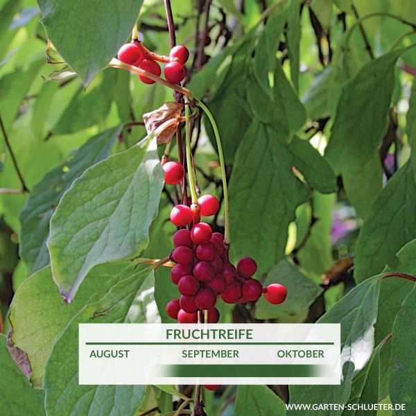 Dekorative Schlingpflanze mit essbaren Früchten