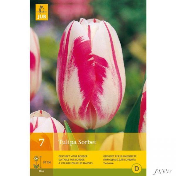 Einfache späte Tulpe 'Sorbet' - 7 Stück Tulipa 'Sorbet' Bild