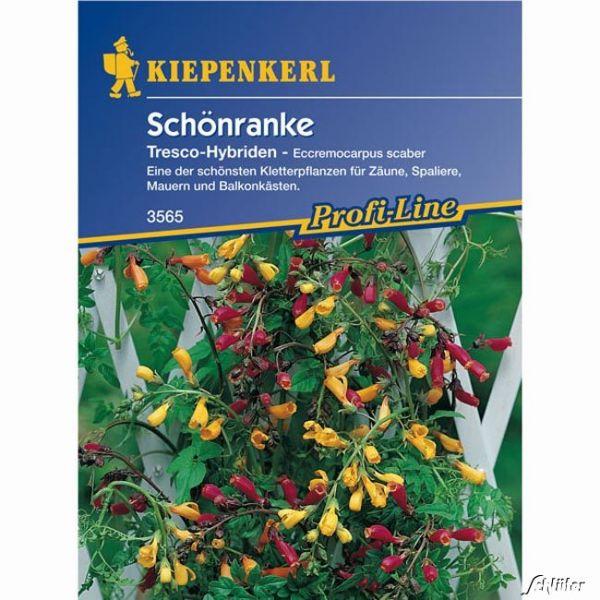 Schönranke 'Tresco-Hybriden' Eccremocarpus scaber Bild
