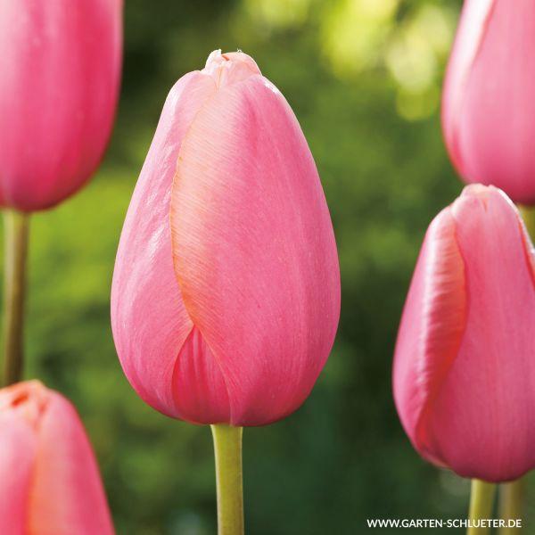Einfache späte Tulpe 'Menton' - 10 Stück Tulipa Bild