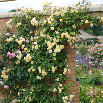 Rose_Malvern_Hills