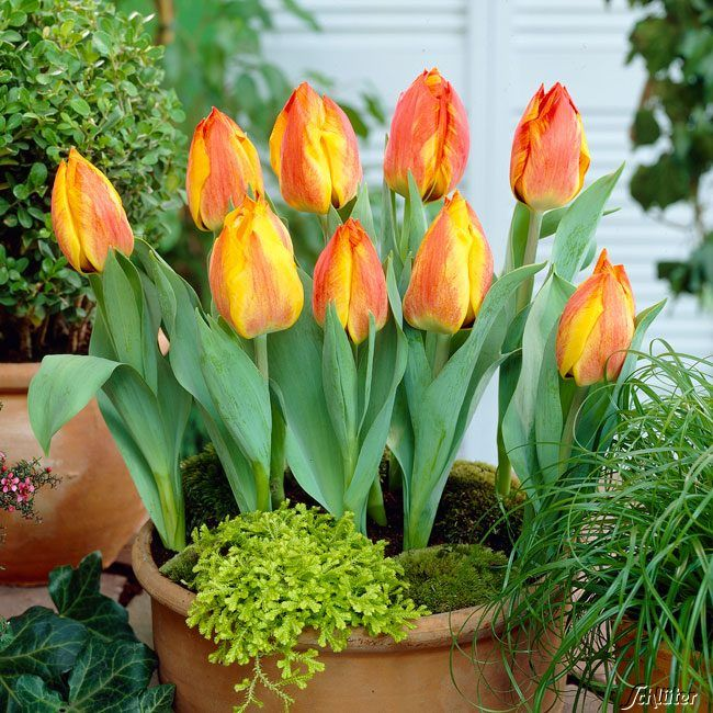 Einfache frühe Tulpe 'Flair' - 10 Stück