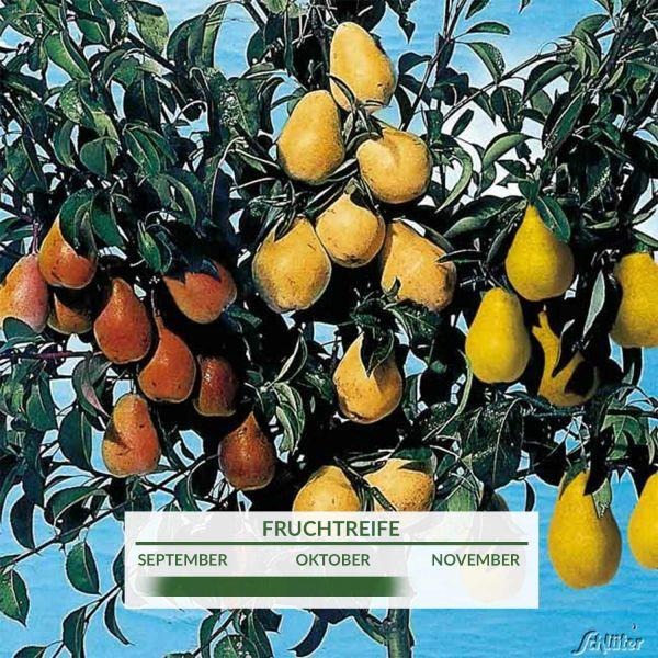 Birnen-Drilling 'Birnenfamilienbaum' Pyrus communis Bild