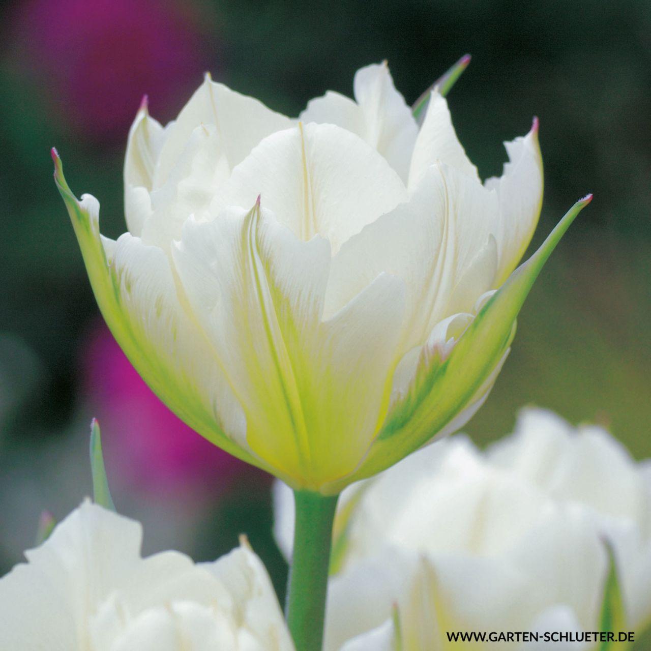 Garten-Schlueter.de: Fosteriana Tulpe Exotic Emperor - 7 Stück